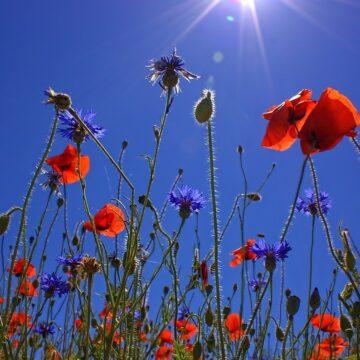 Polskie kwiaty